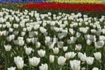 Thumbnail White and red Tulips Tulipa, Keukenhof, Holland, Netherlands, Europe