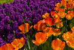 Thumbnail Hyacinths Hyacinthus and orange Tulips Tulipa, Keukenhof, Holland, Netherlands, Europe