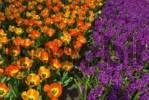 Thumbnail Orange Tulips Tulipa and Hyacinths Hyacinthus, Keukenhof, Holland, Netherlands, Europe
