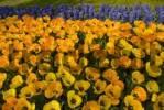 Thumbnail Yellow Tulips Tulipa, Keukenhof, Holland, Niederlande, Europa