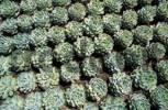 Thumbnail spine cactus