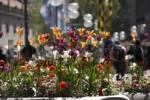 Thumbnail Spring flowers in pedestrian area, Neuhauser Strasse, Munich, Upper Bavaria, Germany, Europe