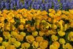 Thumbnail Tulips Tulipa, Keukenhof, Holland, the Netherlands, Europe