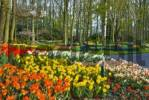 Thumbnail Tulips Tulipa, Keukenhof Gardens, Holland, the Netherlands, Europe