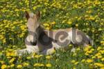 Thumbnail Haflinger foal, in a flowering meadow, lying down