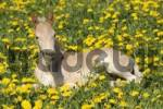 Thumbnail Haflinger Equus caballus foal lying in a meadow
