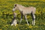 Thumbnail Two Haflinger Equus caballus foals