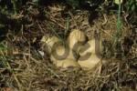 Thumbnail Tufted Ducks Aythya fuligula nest, commencement of hatching