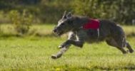 Thumbnail Deerhound, Greyhound Coursing, Hoope, Lower Saxony, Germany, Europe