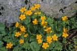 Thumbnail Kings cups Caltha palustris in the Mangfall mountains Germany