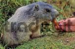 Thumbnail Woman feeding an Alpine marmot Marmota marmota with carrots near Saas Fee Switzerland