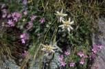 Thumbnail Edelweiss Leontopodium alpinum Dolomites Italy