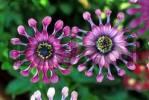 Thumbnail pink blossom extraordinary shape