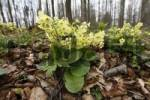 Thumbnail Oxlip or True Oxlip Primula elatior, Lange Rhoen, Lower Franconia, Bavaria, Germany, Europe