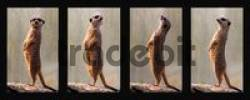 Thumbnail Meerkats, collage, four individual pictures, Stuttgart, Germany, Europe