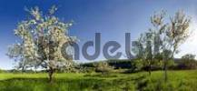 Thumbnail Apple Trees Malus in bloom near Obereichstaett in the Altmuehltal Valley Nature Park, Bavaria, Germany, Europe