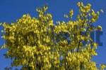Thumbnail Golden Chain, Vosss Laburnum Laburnum x watereri in bloom, poisonous plant