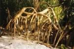 Thumbnail mangrove roots