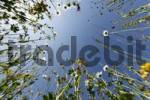 Thumbnail Flower meadow, worms eye view, Bavaria, Germany, Europe