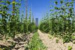 Thumbnail Common Hops Humulus lupulus, plantation, Germany, Europe