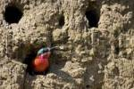 Thumbnail Southern Carmine Bee-eater Merops nubicoides in a nesting cave on the steep banks of the Okavango River, Botswana, Africa