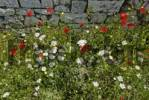 Thumbnail Poppies Papaver and Oxeye Daisies Leucanthemum, flower meadow in Berat Fortress, UNESCO World Heritage Site, Albania, Europe