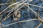 Thumbnail common European toads  Bufo bufo  and moor frog  Rana arvalis  pairing in water