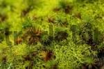 Thumbnail moss Atrichium undulatum  Catharinaea undulata