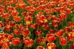 Thumbnail Red-yellow Tulips, Darwin Hybrid Tulip, species Banja Luka Tulipa Banja Luka