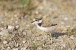 Thumbnail Little Ringed Plover Charadrius dubius chick, Neusiedler Lake, Austria, Europe