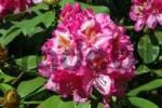Thumbnail Ida Rubinstein Rhododendron Rhododendron cultivar Ida Rubinstein in bloom, Alpenrose, blossom