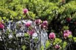 Thumbnail Hairy Alpine Rose Rhododendron hirsutum, Kaunertal Valley, Tyrol, Austria, Europe