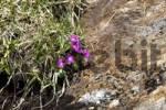 Thumbnail Stinking Primerose Primula hirsuta, Kaunertal Valley, Tyrol, Austria, Europe