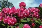 Thumbnail Flowering Rhododendron hybrid Ida Rubinstein Rhododendron cultivar Ida Rubinstein