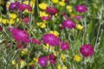 Thumbnail Flower bed with purple flowers of the Crown Campion lychnis coronata, yellow flowers of an Ox-eye Daisy Buphthamum salicifolium in the back