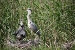 Thumbnail Grey Heron Ardea cinerea with young birds, nest on ground amongst the reeds