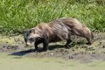 Thumbnail Raccoon Dog Nyctereutes procyonoides by water