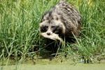 Thumbnail Raccoon Dog Nyctereutes procyonoides with a fish