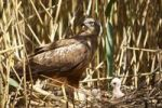 Thumbnail Western Marsh Harrier Circus aeruginosus on nest with young