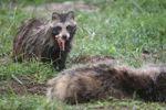 Thumbnail Raccoon Dog Nyctereutes procyonoides feeding on a dead badger