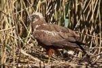 Thumbnail Western Marsh Harrier Circus aeruginosus on nest amongst reeds