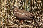 Thumbnail Western Marsh Harrier Circus aeruginosus on nest amongst reeds