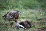 Thumbnail White-tailed Eagle or Sea Eagle Haliaeetus albicilla, 2-year-old young bird, juvenile plummage, on a badger