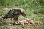 Thumbnail White-tailed Eagle or Sea Eagle Haliaeetus albicilla, 2-year-old young bird, juvenile plummage, feeding on a fox