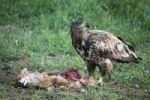 Thumbnail White-tailed Eagle or Sea Eagle Haliaeetus albicilla, 2-year-old young bird, juvenile plummage, on a fox