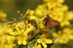 Thumbnail Large Skipper Ochlodes venatus sitting on a flower of the Yellow Loosestrife Lysimachia vulgaris