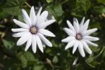 Thumbnail Cape Daisy Osteospermum Hybrid, native to South Africa