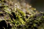 Thumbnail Macro of moss spores with water droplets