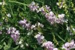 Thumbnail Blooming Perennial Pea, Everlasting Pea, Sweet Pea, Lathyrus latifolius, climbing plant