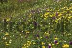 Thumbnail Wild flower meadow